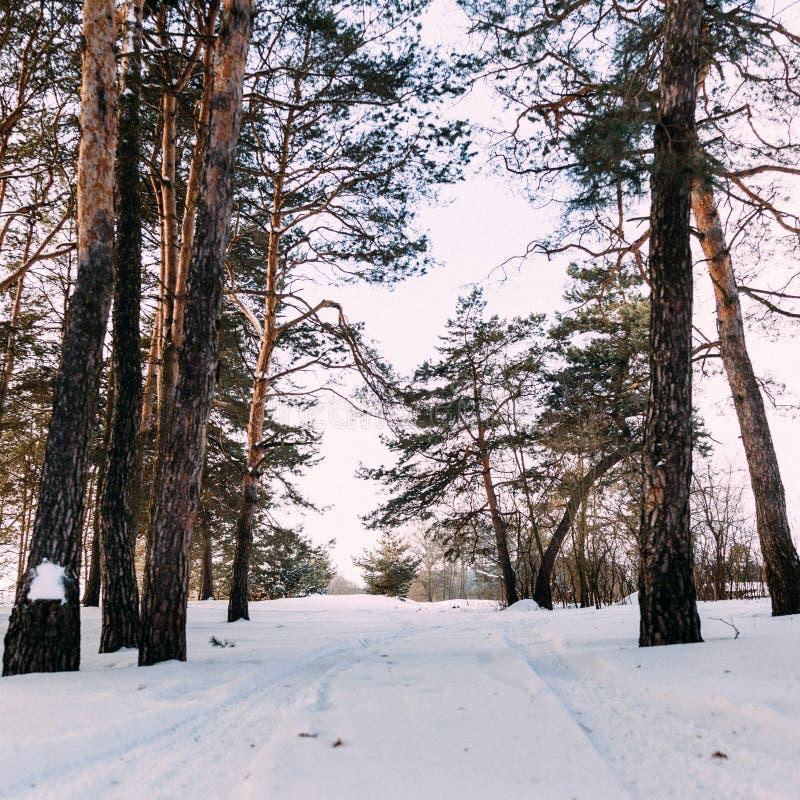 Sörja trädet i den vita snöräkningen över vinterskogen arkivfoto