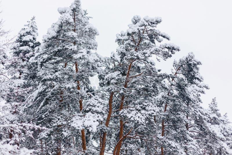 Sörja trädet i den vita snöräkningen över vinterskogen royaltyfri fotografi