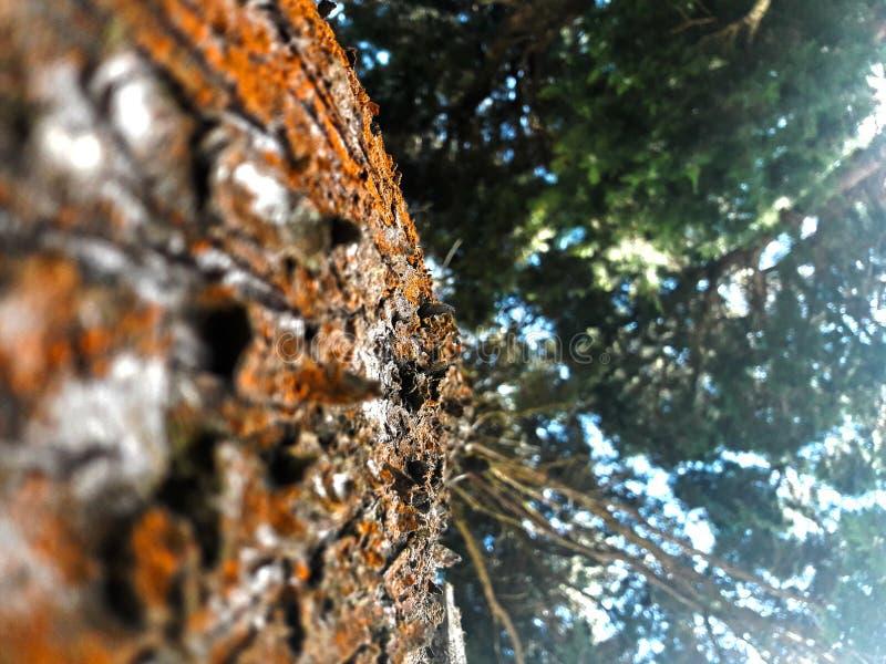 Sörja trädet i forestal reserv för närliggande Chayote royaltyfri foto