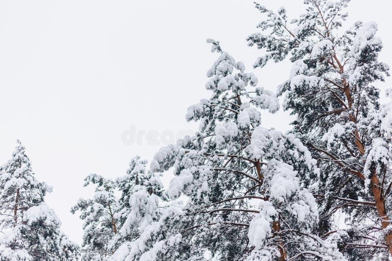 Sörja trädet i snöräkningen royaltyfria bilder