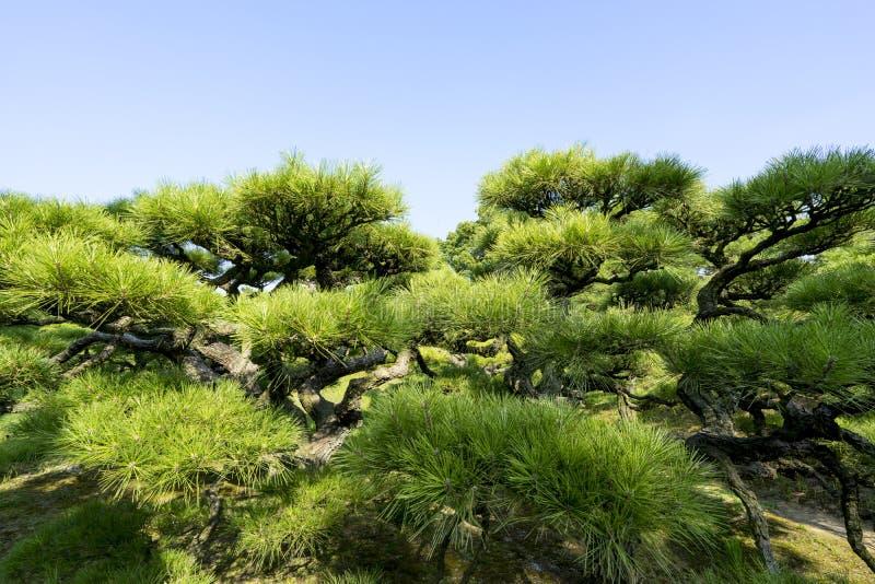 Sörja trädet i trädgård 2 royaltyfri fotografi