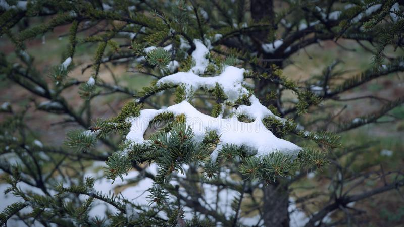 Sörja trädet med någon snö på dem royaltyfri foto