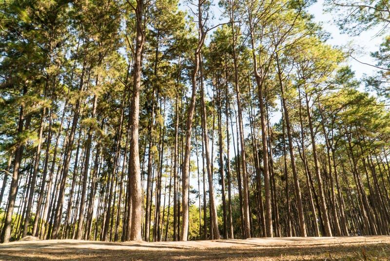 Sörja trädet med solsken och skugga royaltyfri fotografi