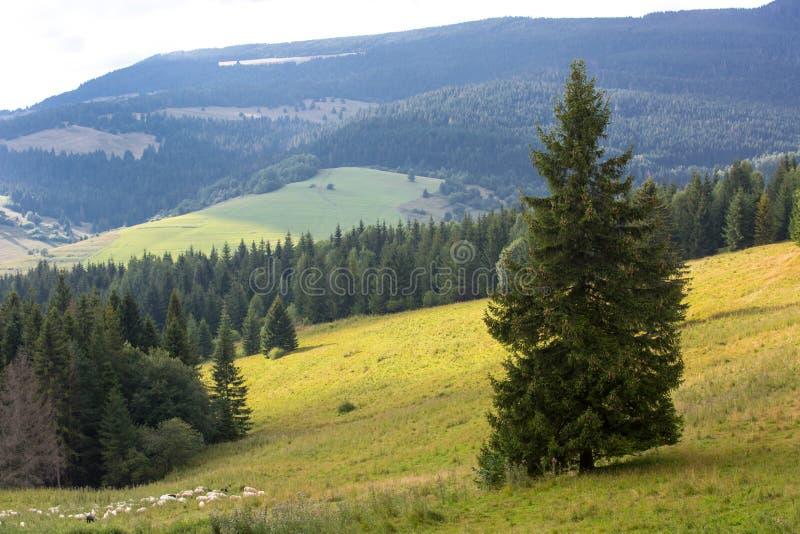 Sörja trädet på berglutning arkivfoton