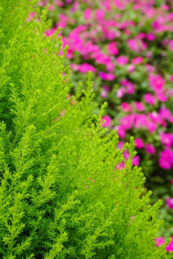 Sörja trädet på trädgården royaltyfri fotografi