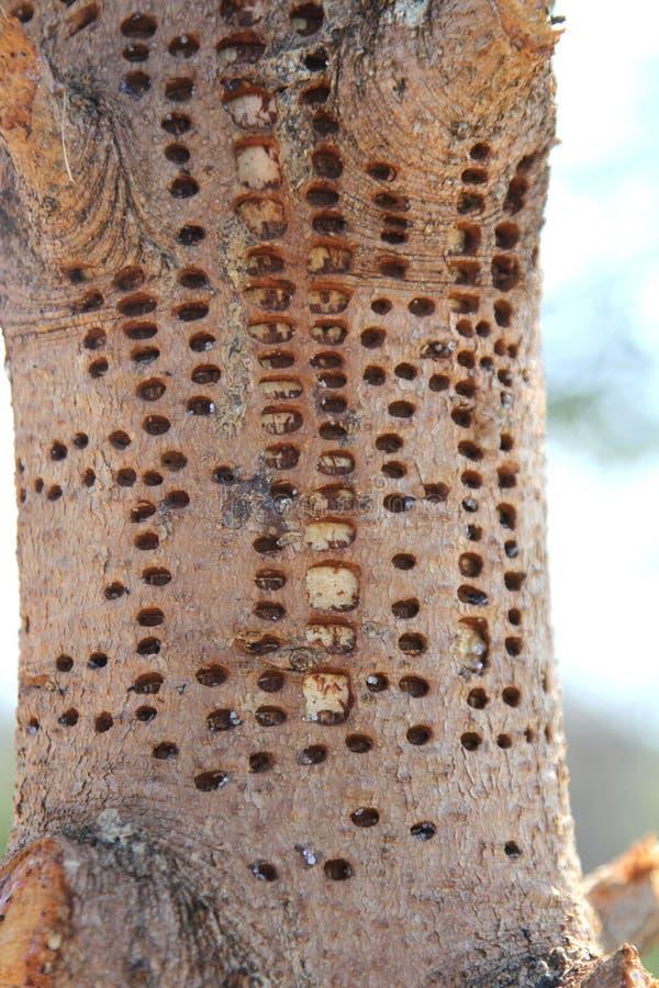 Sörja trädet skadlig av hackspetten royaltyfri bild