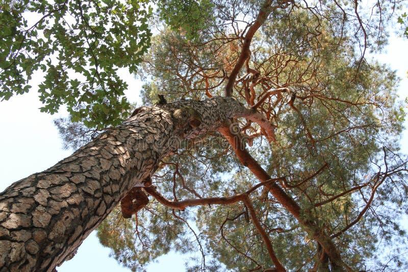 Sörja trädet underifrån royaltyfri fotografi