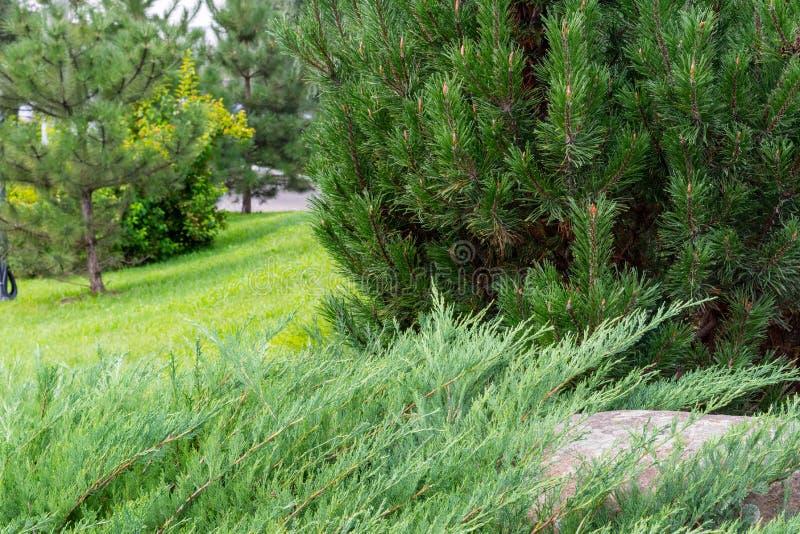 Sörja trädfilialen med gröna visare över pinjeskogbakgrund sten med mossa på bakgrunden royaltyfria foton
