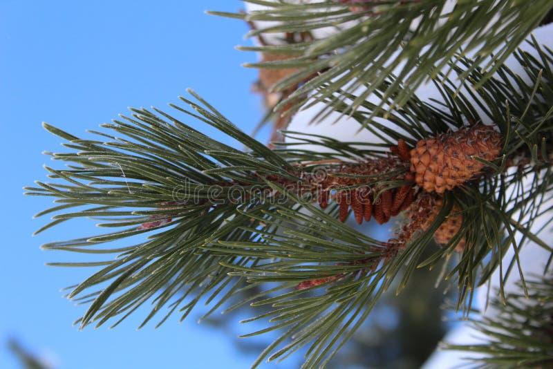 Sörja trädfilialen med kottar på bakgrund för blå himmel i snöig vinter royaltyfri foto