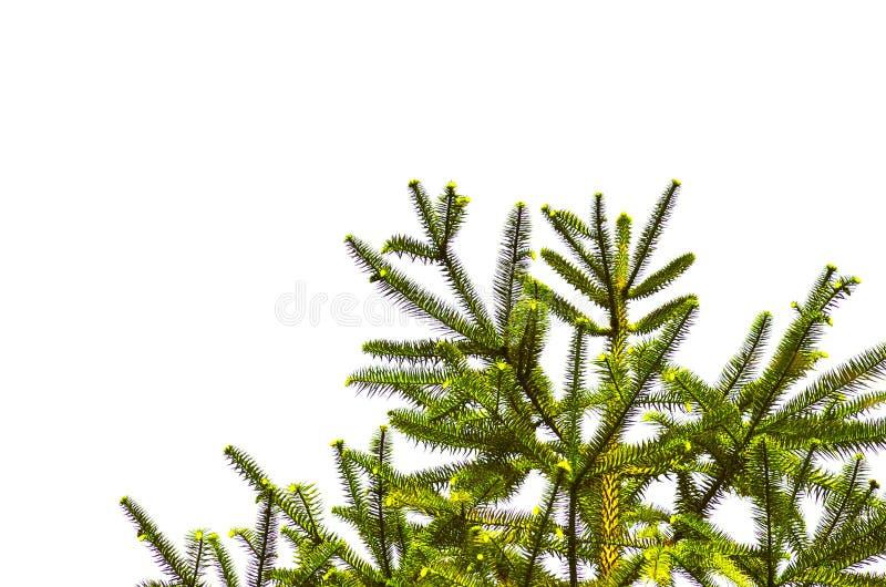 Sörja trädfilialen ovanför vitbakgrund som isoleras fotografering för bildbyråer