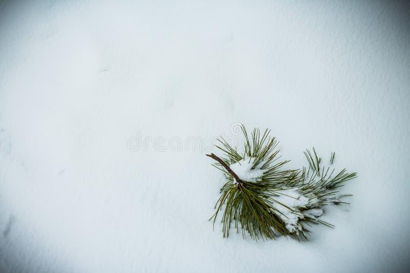 Sörja trädfilialen på snö arkivfoton