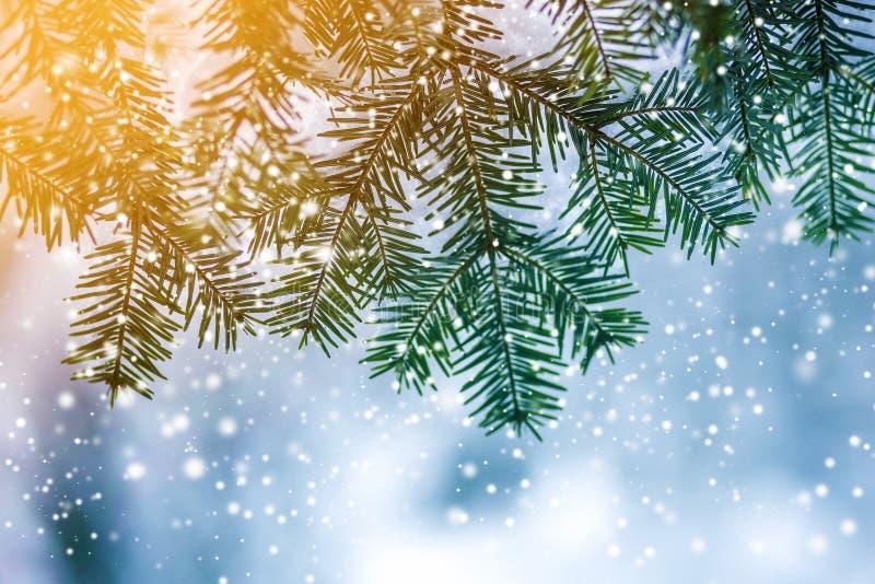 Sörja trädfilialer med gröna visare som täckas med djup ny ren snö på suddig blå bakgrund för det friakopieringsutrymme glatt royaltyfri foto
