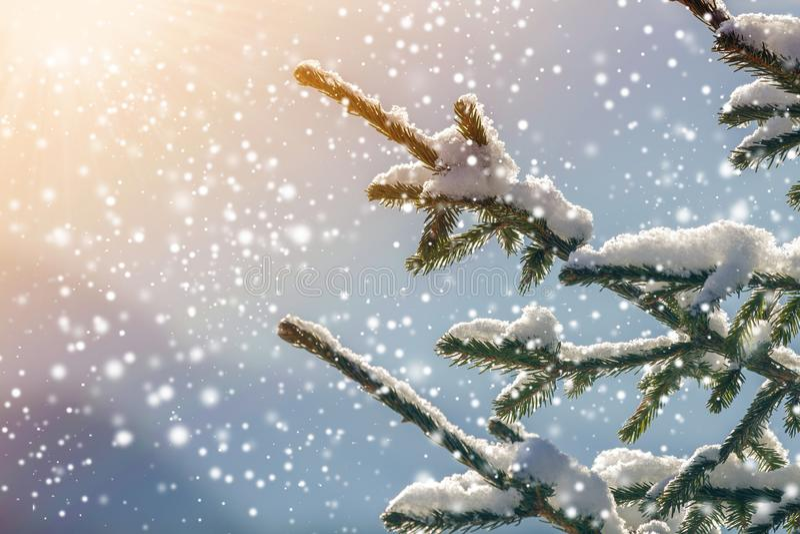 Sörja trädfilialer med gröna visare som täckas med djup ny ren snö på suddig blå bakgrund för det friakopieringsutrymme glatt arkivfoton