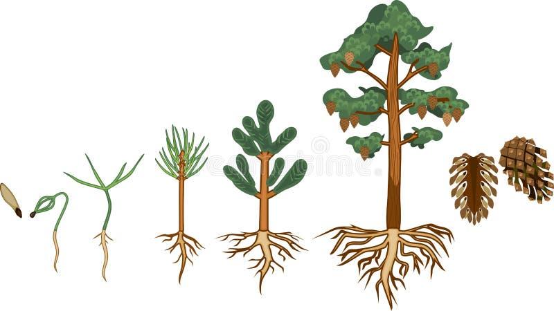 Sörja trädlivcirkuleringen royaltyfri illustrationer