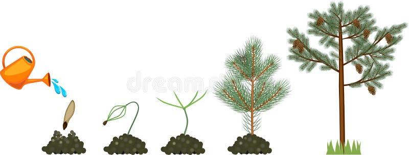 Sörja trädlivcirkuleringen Växtgrowin från kärnar ur för att mogna sörjer trädet med kottar royaltyfri illustrationer