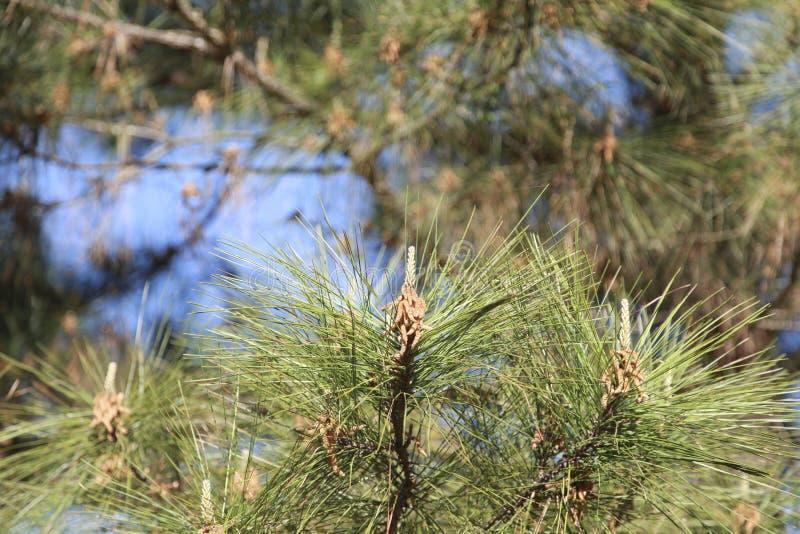 Sörja trädpollen royaltyfri bild