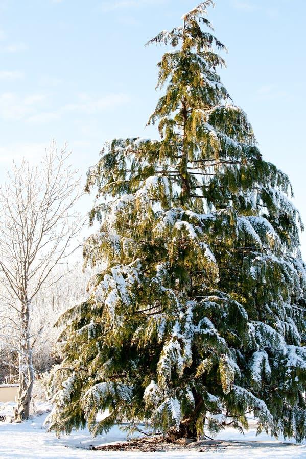Sörja trädräkningen med snö royaltyfria bilder