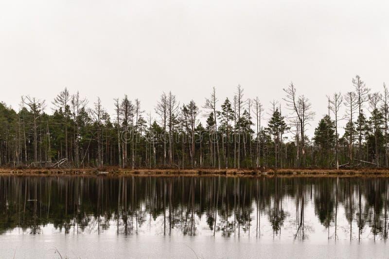 Sörja trädreflexionen i träsksjön arkivbild