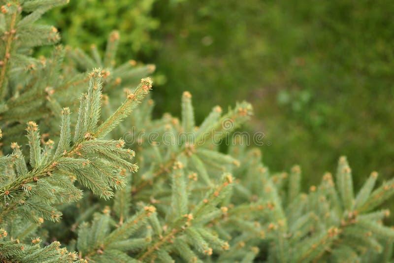 sörja trees arkivfoto