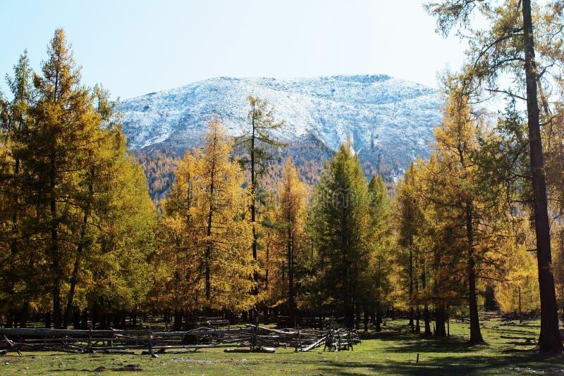 sörja trees arkivfoton