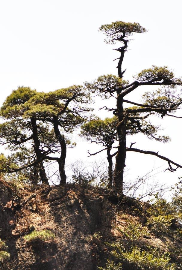 Sörja trees på bergmaximumet arkivbild
