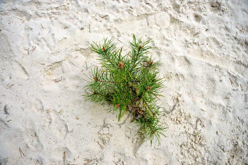 Sörja växer i sanden royaltyfria foton