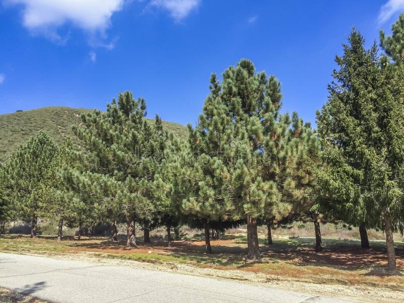 Sörjer trädbeskydd på San Bernardino berg arkivfoto