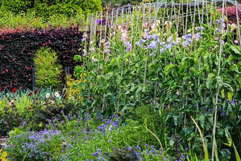 Söt ärta som växer i hemträdgården arkivfoto