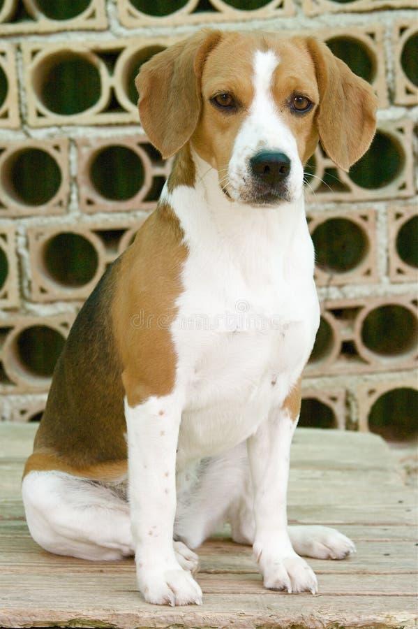Söt beagle arkivbilder