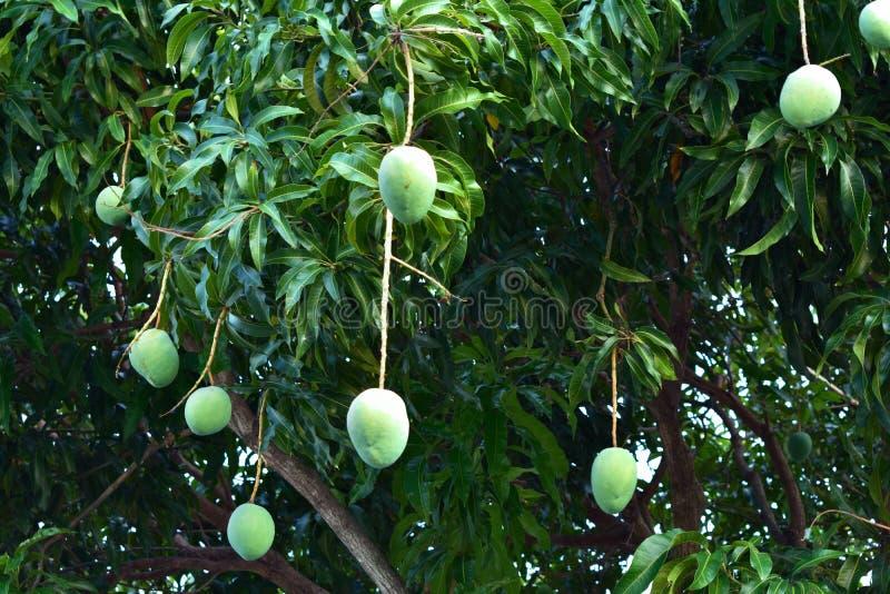 Söt frukt för mango av liv arkivfoto