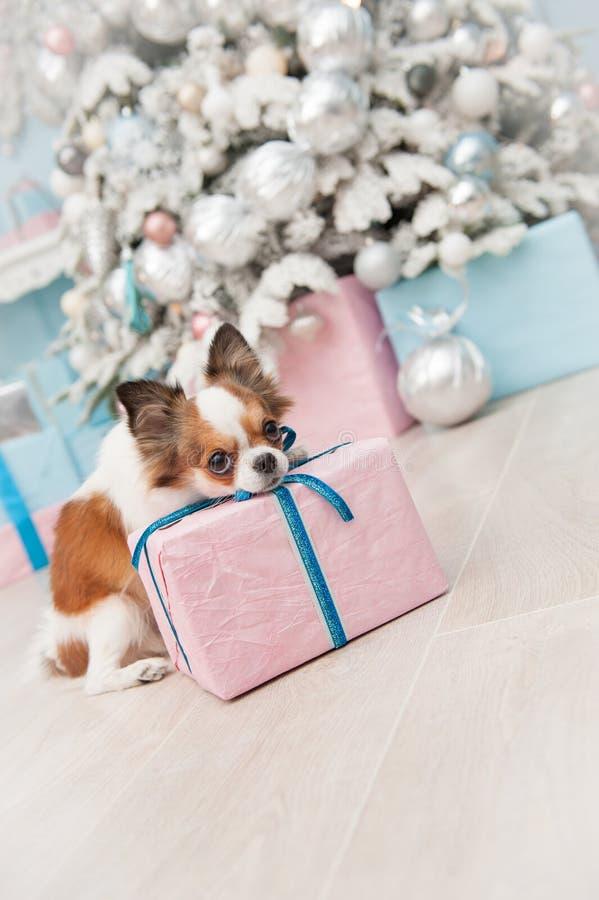 Söt gullig chihuahua för husdjurhund som ligger på julgåvaasken nära tr royaltyfri bild