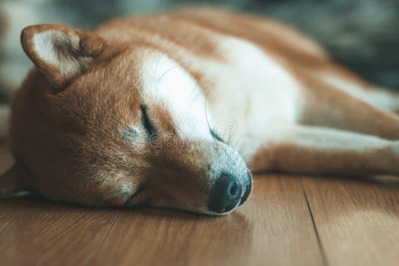 Söt hundsömn på golvet royaltyfri bild