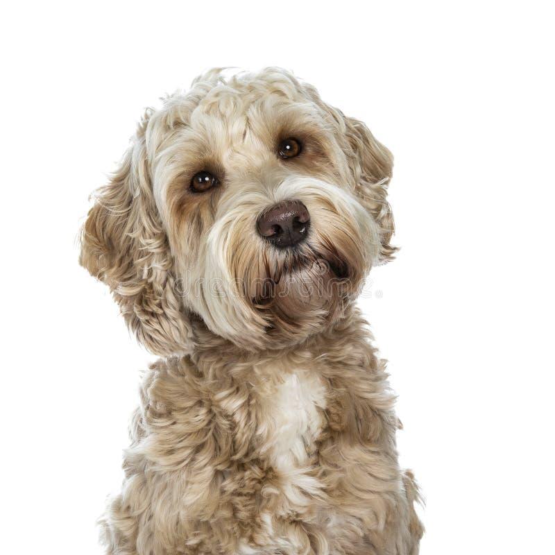 Söt kvinnlig vuxen guld- Labradoodle hund som isoleras på en vit bakgrund royaltyfri bild