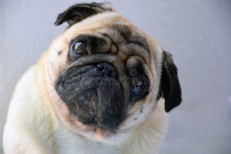 söt ledsen hundmops för mops med stora ledsna ögon och frågande ögonkast, stående av en hund royaltyfria bilder