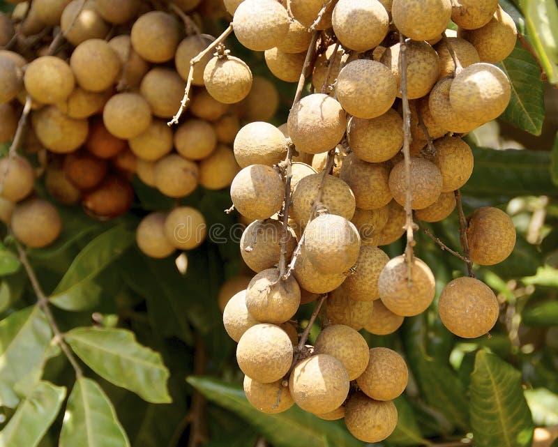Söt longanfrukt royaltyfri fotografi