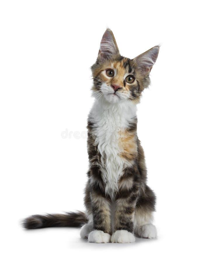 Söt och djärv tortieMaine Coon katt på vit bakgrund royaltyfria foton