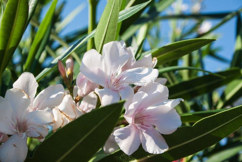 söt oleander royaltyfria foton