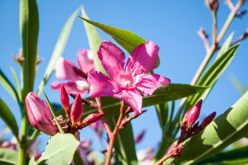 söt oleander arkivbild