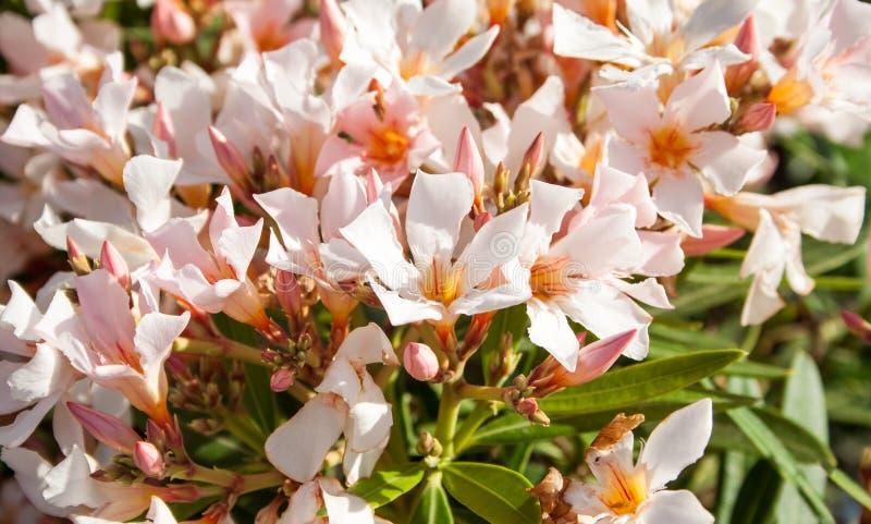söt oleander royaltyfria bilder