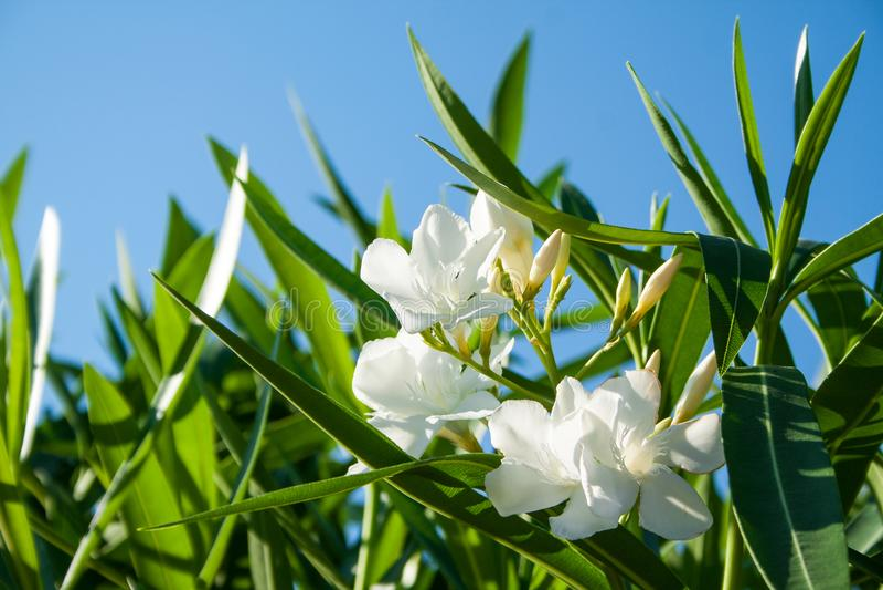 söt oleander arkivbilder