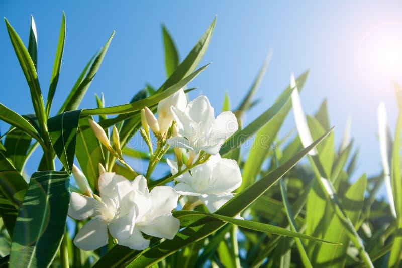 söt oleander fotografering för bildbyråer