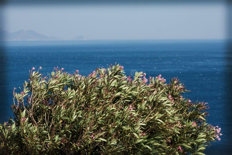 söt oleander royaltyfri bild