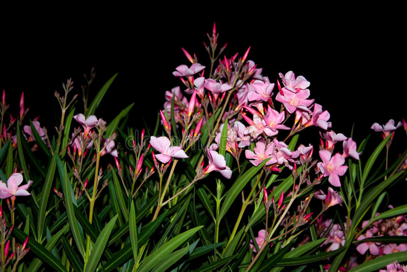 söt oleander arkivfoto