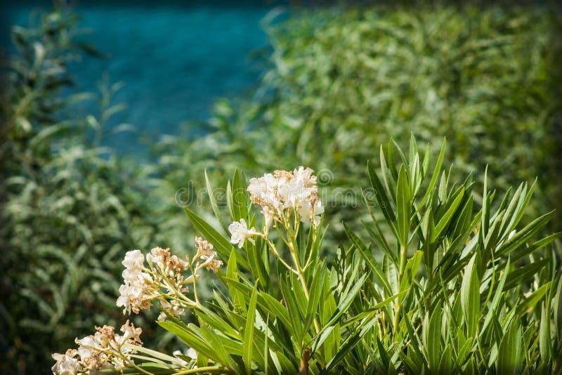söt oleander royaltyfri foto