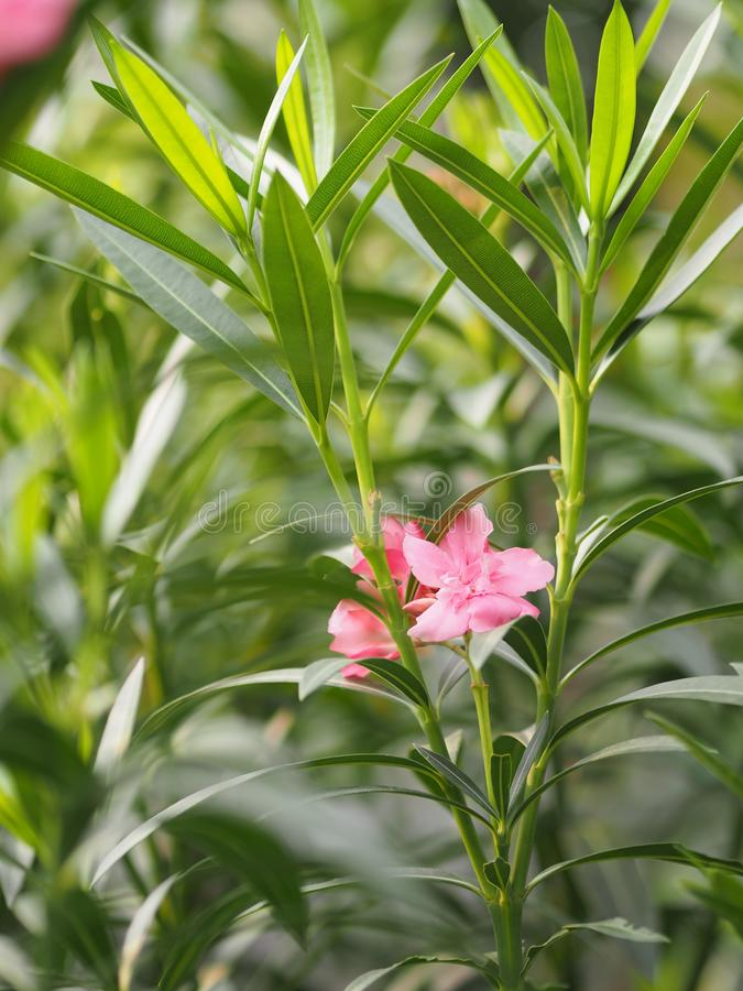 Söt oleander Rose Bay som för rosa blommaoleander är härlig i natur arkivbild