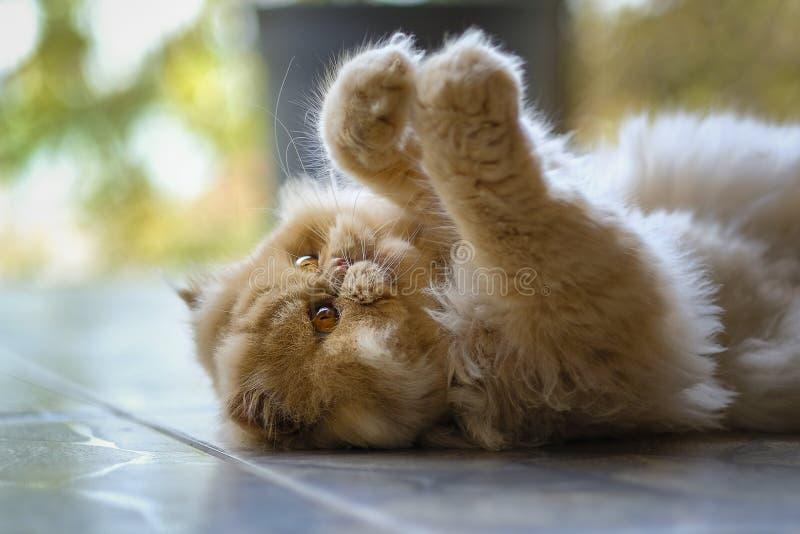 Söt persisk katt som spelar förälskelse royaltyfri bild
