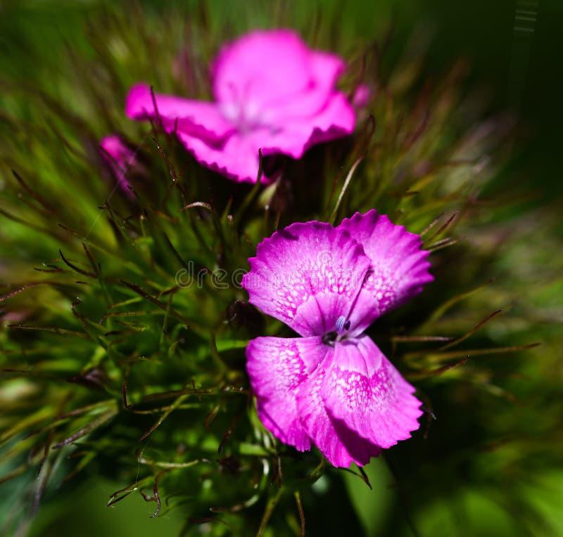 Söt william blomma fotografering för bildbyråer