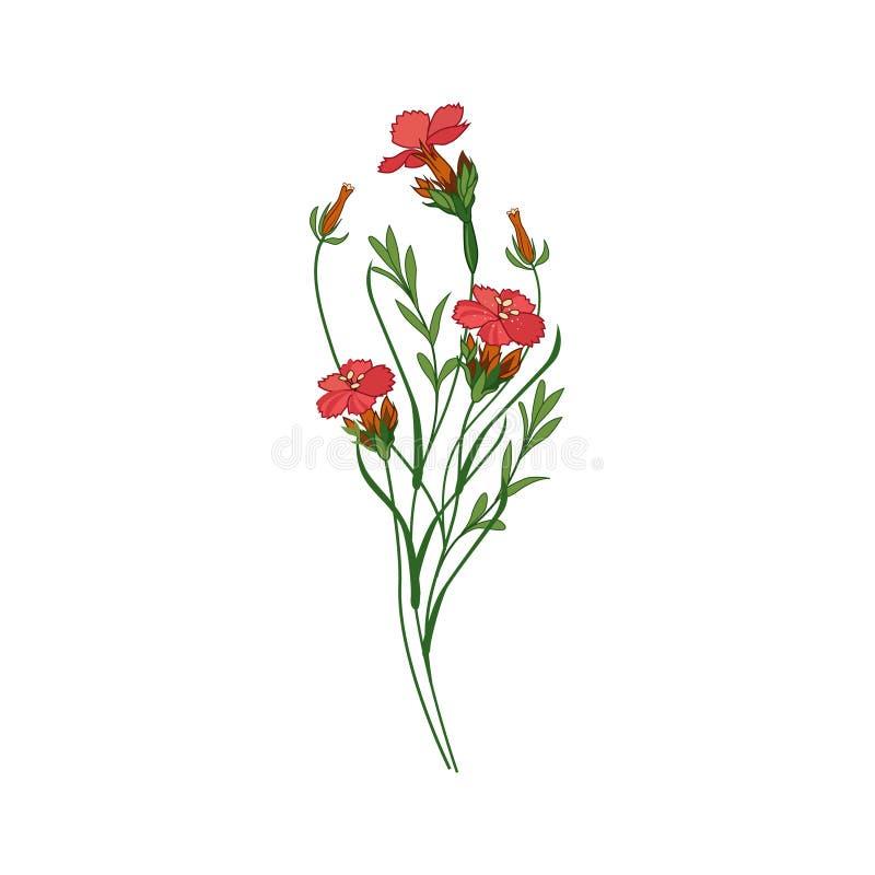 Söt William Wild Flower Hand Drawn detaljerad illustration vektor illustrationer