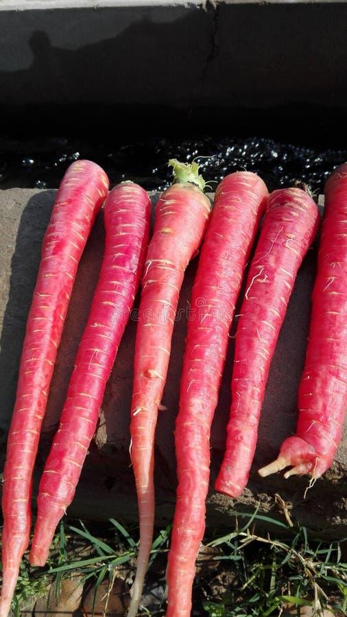 Söta härliga röda morötter royaltyfri bild