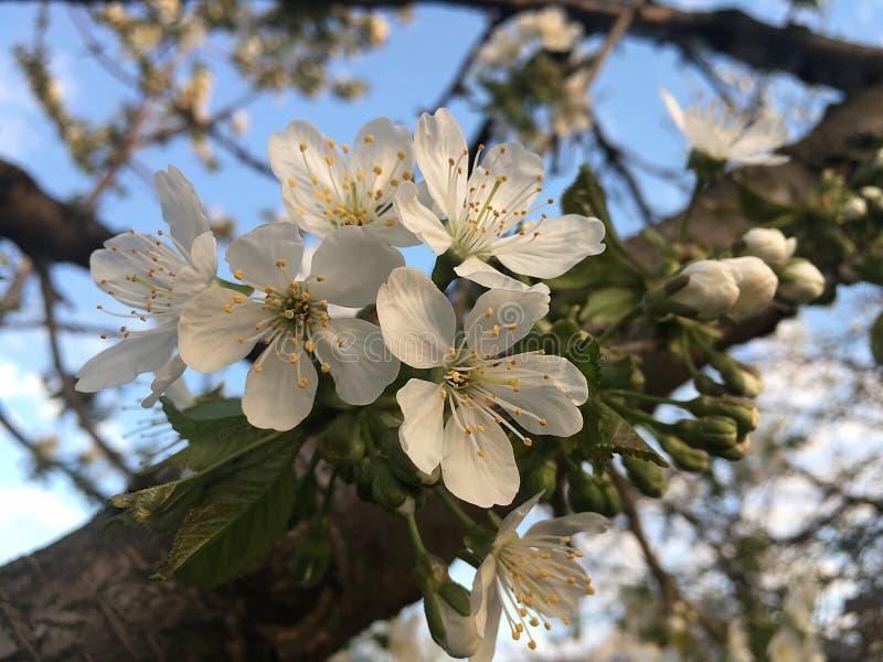 Söta körsbärsröda blomningar i en trädgård royaltyfri fotografi